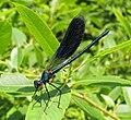 Calopteryx virgo Красотка-девушка Male.jpg