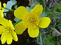 Caltha Palustris.jpg