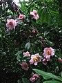 Camellia, Cockington - geograph.org.uk - 640111.jpg