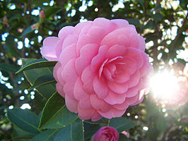 Camellia japonica 'Pink Perfection'