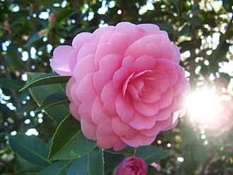 Emodepside - Figure 1: Camellia japonica