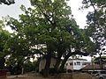 Camphor trees in Umi Hachiman Shrine.JPG