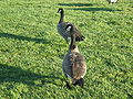 Canada Geese at Oracle HQ 2.JPG