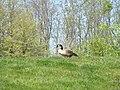 Canada Goose (33882149730).jpg