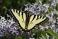 Canadian Tiger Swallowtail (3703521990).jpg