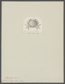Cancer integer - - Print - Iconographia Zoologica - Special Collections University of Amsterdam - UBAINV0274 094 14 0006.tif