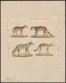 Canis aureus - 1834 - Print - Iconographia Zoologica - Special Collections University of Amsterdam - UBA01 IZ22200017.tif