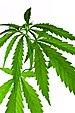 Cannabis indica plant IMGP3337.jpg