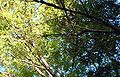 Canopy of trees on Mount Dandenong.jpg