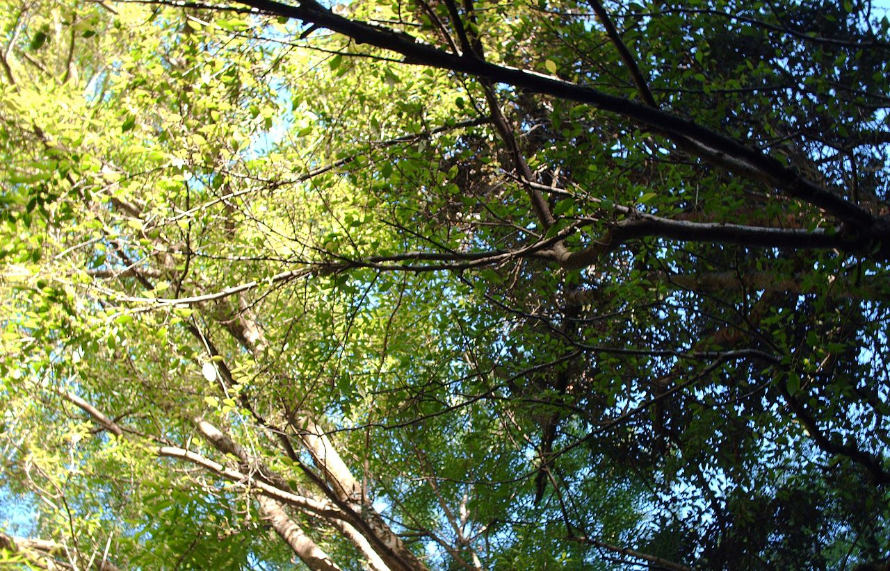 File canopy of trees on mount wikimedia for Canopy of trees