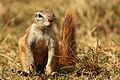 Cape ground squirrel, Xerus inauris, at Krugersdorp Game Reserve, Gauteng, South Africa (27382934022).jpg