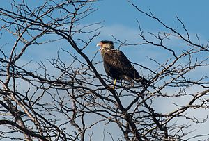 Quebrada del Condorito National Park - The Carancho, a large bird of prey inhabiting the park.