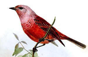 Pink-headed warbler - Illustration by Joseph Wolf (1863)