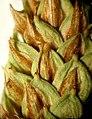 Carex aquatilis inflorescens (04).jpg