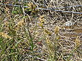 Carex arenaria01.jpg