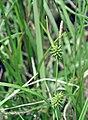 Carex demissa inflorescens (16).jpg