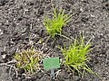 Carex grayi - Copenhagen Botanical Garden - DSC07933.JPG