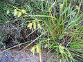 Carex hystericina NRCS-2.jpg