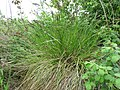 Carex paniculata plant (12).jpg