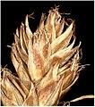 Carex spicata inflorescens (27).jpg
