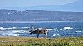 Caribou (Rangifer tarandus) - Port au Choix, Newfoundland 2019-08-19 (01).jpg