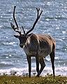 Caribou (Rangifer tarandus) - Port au Choix, Newfoundland 2019-08-19 (10).jpg