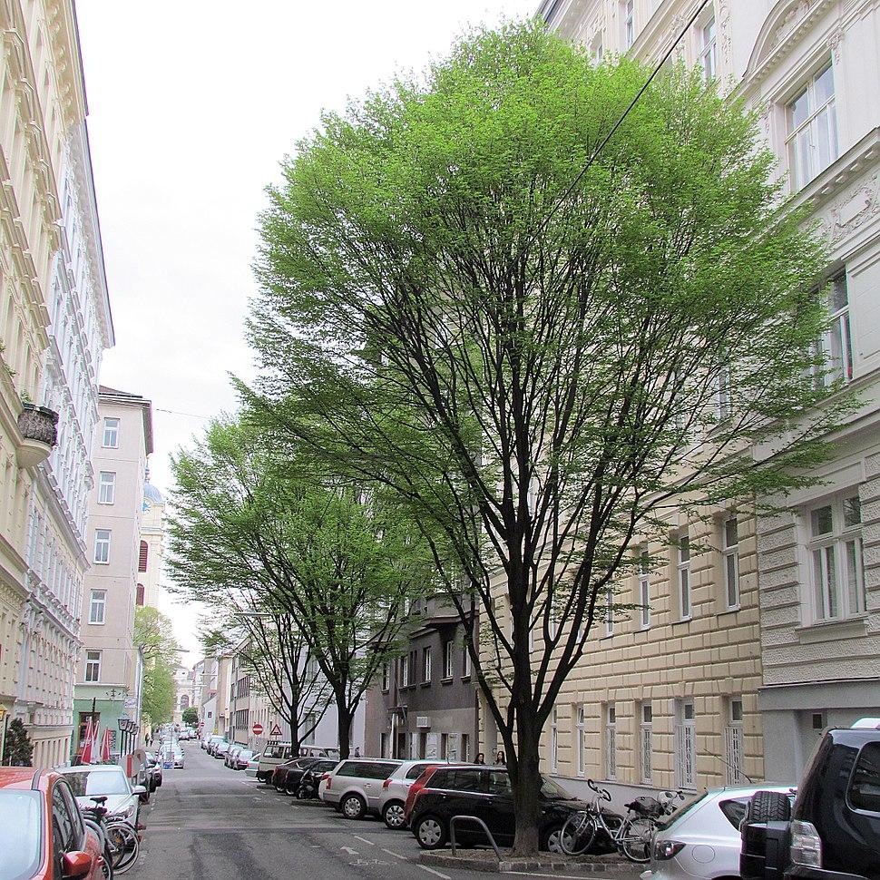 Carpinus betulus in Vienna