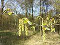 Carpinus betulus sl16.jpg