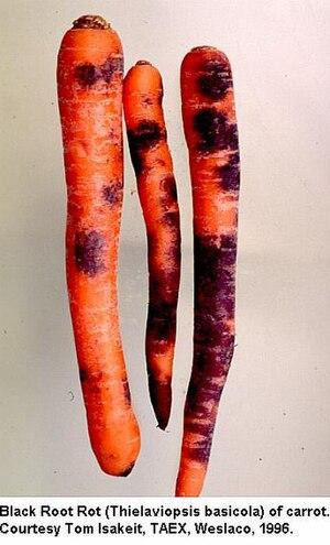 Thielaviopsis basicola - Black root rot.