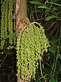 Caryota mitis fruits.jpg