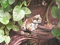 Casa delle Farfalle - Trachycephalus resinifictrix.jpg