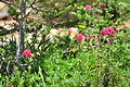 Castilleja parviflora - Paradise, Mount Rainier, August 2014 - 02.jpg