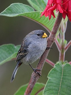 Catamenia analis Semillero coliblanco Band-tailed Seedeater (8741940231).jpg