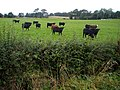 Cattle Near Hitchill - geograph.org.uk - 565045.jpg