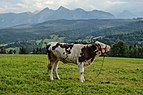 Cattle and Tatry mountains.jpg
