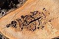 Cavités dans des bûches de peuplier blanc (64).JPG