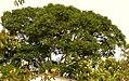 Cedro rosado (Cedrella odorata) - Flickr - Alejandro Bayer (1).jpg