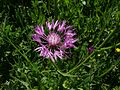 Centaurea napifolia Sizilien.jpg