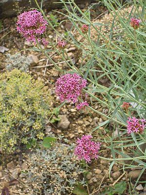 Centranthus - Flowers of the narrow-leaved valerian  (Centranthus angustifolius)