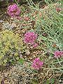 Centranthus angustifolius.JPG
