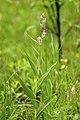 Cephalanthera rubra LC0350.jpg