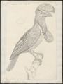 Cephalopterus ornatus - 1809 - Print - Iconographia Zoologica - Special Collections University of Amsterdam - UBA01 IZ16600149.tif