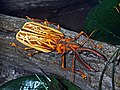 Cerambycidae - Macrodontia cervicornis.JPG