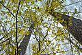 Cerasus jamasakura - Flickr - odako1 (1).jpg