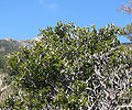 Cercocarpus intricatus 14.jpg
