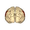Cerebrum - supramarginal gyrus - posterior view.png