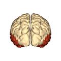 Cerebrum - temporal lobe - posterior view.png