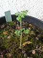 Chaerophyllum bulbosum (cropped).jpg