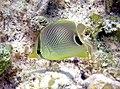 Chaetodon capistratus (foureye butterflyfish) (San Salvador Island, Bahamas) 2 (16146043596).jpg