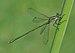 Chalcolestes viridis qtl1.jpg